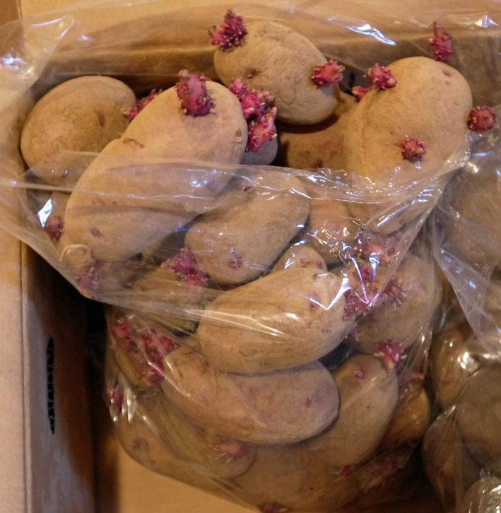 ジャガイモの種芋購入&植えるための土づくり1・16_c0014967_18145775.jpg