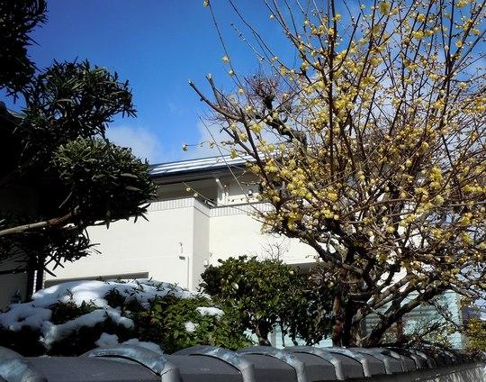 路傍の花、樹々の鳥(141) ~ 雪 臘梅 青空 ~ _b0102572_14104141.jpg