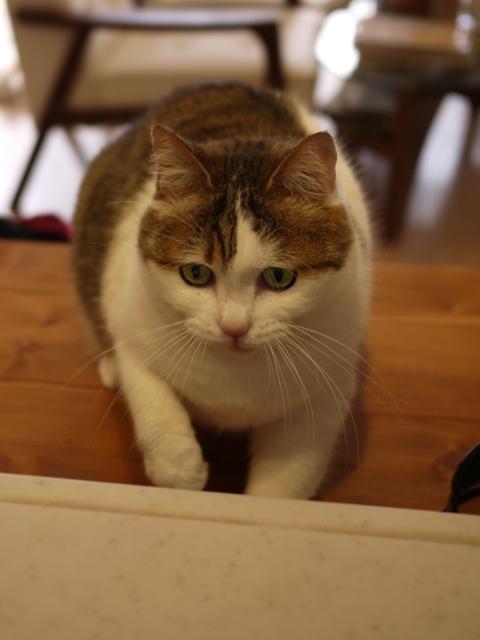 猫のお留守番 さくらちゃん編。_a0143140_17353988.jpg