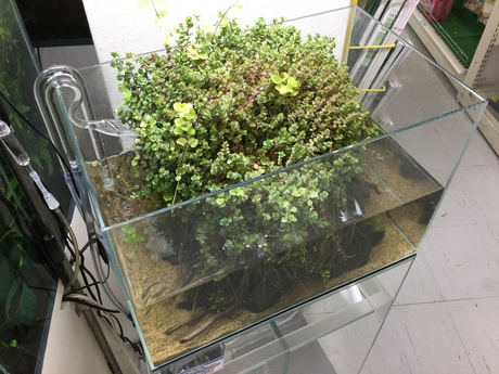 170119 熱帯魚・金魚・水草;観葉植物_f0189122_13154238.jpg