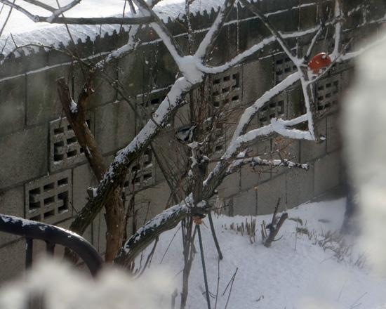 吹雪の朝のシジュウカラ、スズメの餌台など♪_a0136293_15571176.jpg