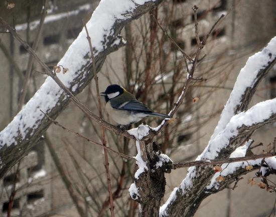 吹雪の朝のシジュウカラ、スズメの餌台など♪_a0136293_15591516.jpg