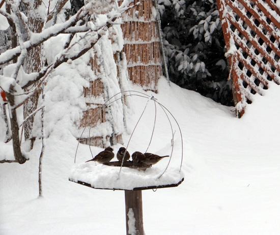 吹雪の朝のシジュウカラ、スズメの餌台など♪_a0136293_1611137.jpg