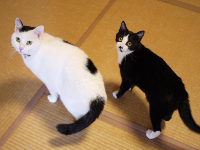 猫のお留守番 たらくんにこくん編。_a0143140_21152647.jpg