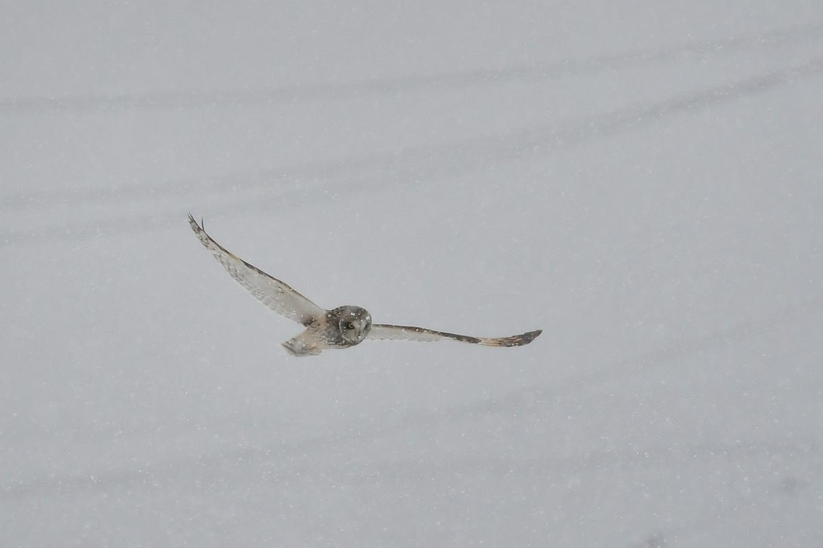 大寒の雪に舞う コミミズク _f0053272_23573365.jpg