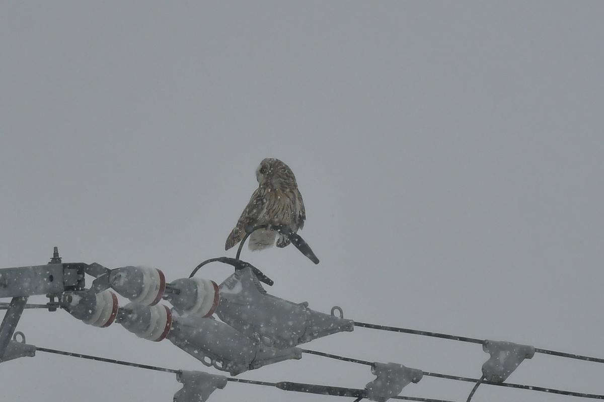 大寒の雪に舞う コミミズク _f0053272_23580476.jpg