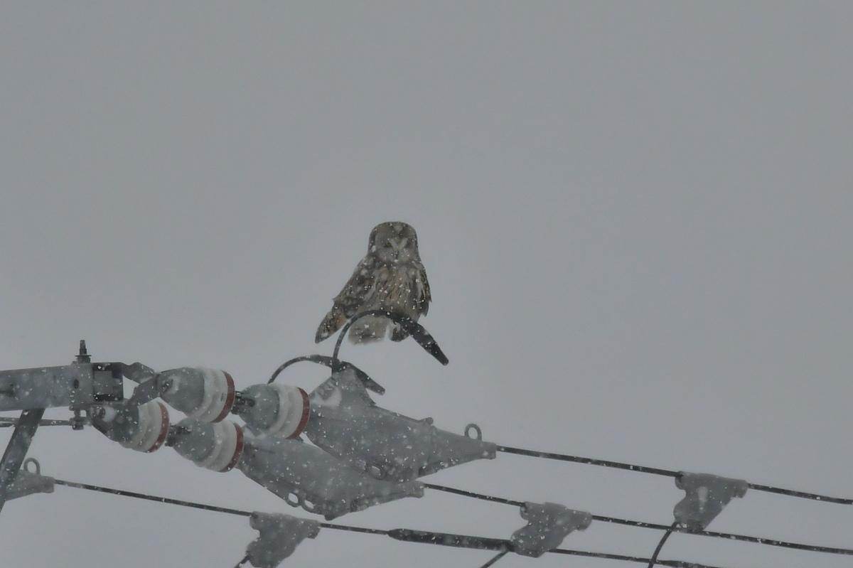 大寒の雪に舞う コミミズク _f0053272_23583158.jpg