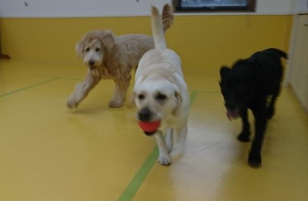 ボール大好きな大型犬♥_f0357682_12261395.jpg