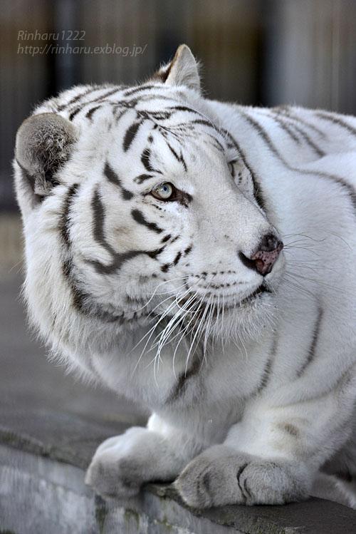2017.1.21 宇都宮動物園☆ホワイトタイガーのアース王子【White tiger】_f0250322_22293953.jpg