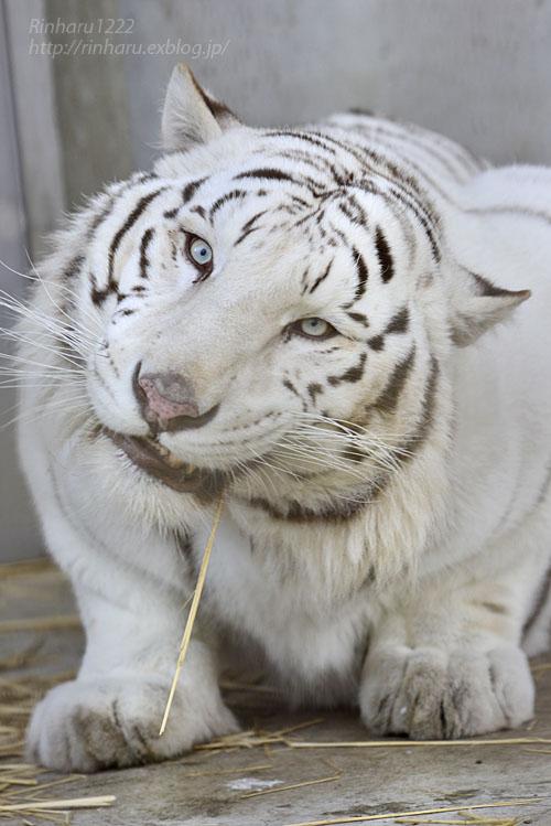 2017.1.21 宇都宮動物園☆ホワイトタイガーのアース王子【White tiger】_f0250322_2230201.jpg