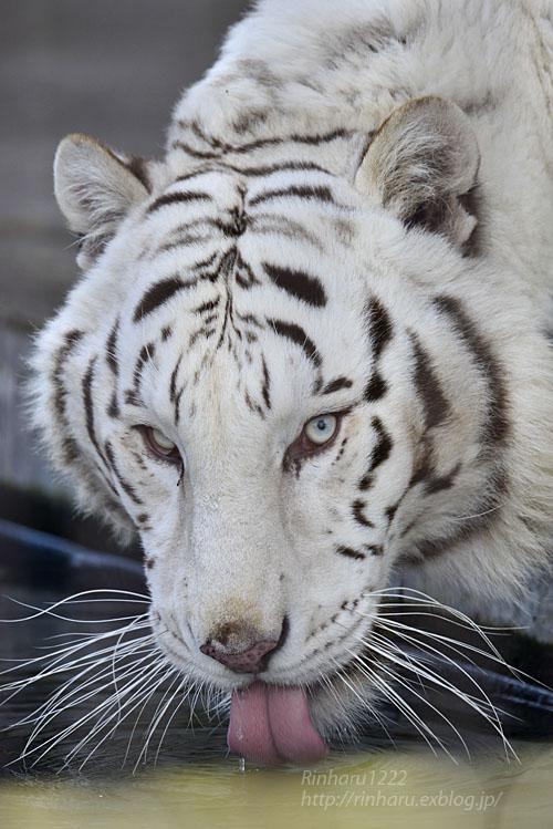 2017.1.21 宇都宮動物園☆ホワイトタイガーのアース王子【White tiger】_f0250322_22303274.jpg