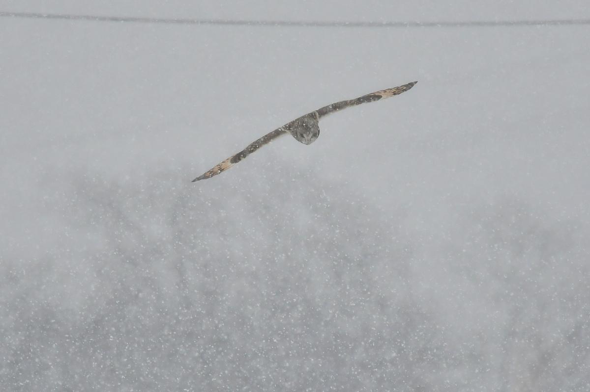 大寒の雪に舞う コミミズク _f0053272_00025547.jpg