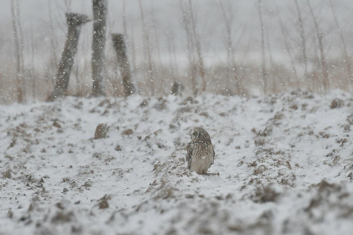 雪の上に降りたコミミズク_f0053272_13073144.jpg