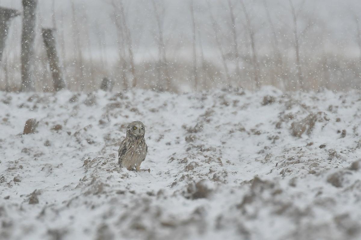雪の上に降りたコミミズク_f0053272_13074137.jpg