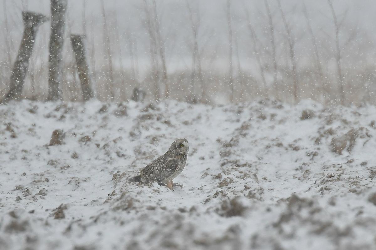 雪の上に降りたコミミズク_f0053272_13074758.jpg