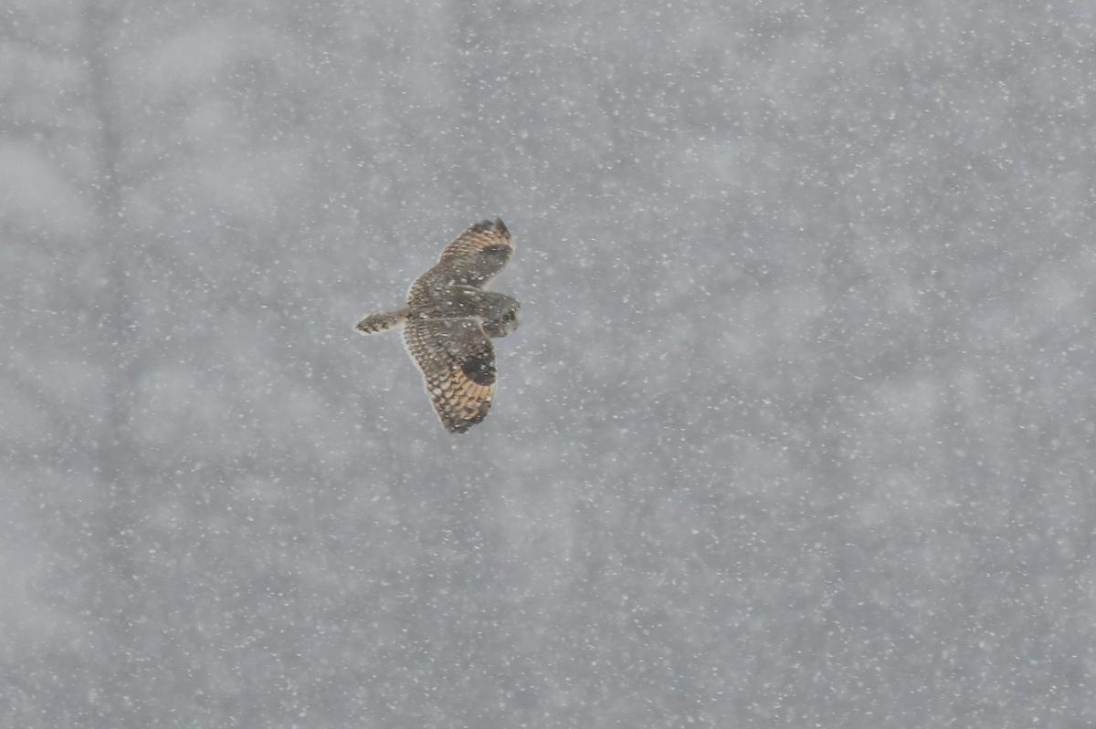 雪の上に降りたコミミズク_f0053272_14041632.jpg
