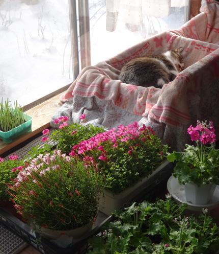 ポカポカ陽気の猫部屋で、多肉植物の手入れなど~♪_a0136293_16475224.jpg