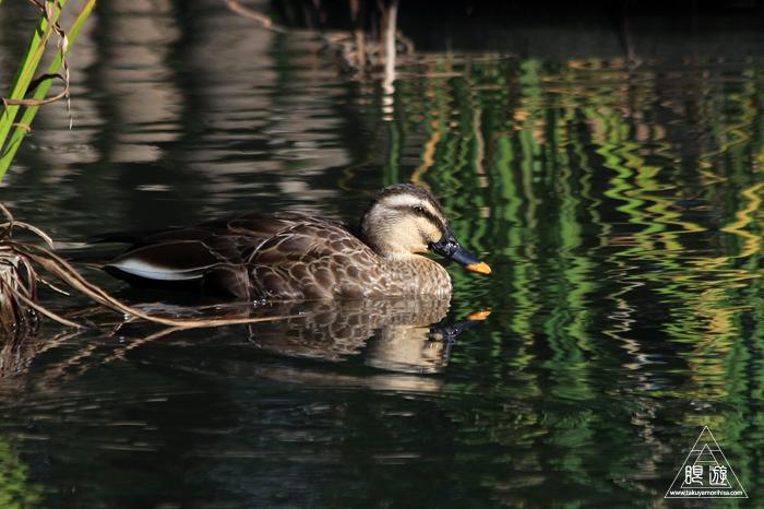 537 出雲大社 ~出雲大社の池にいる鳥~_c0211532_01330265.jpg