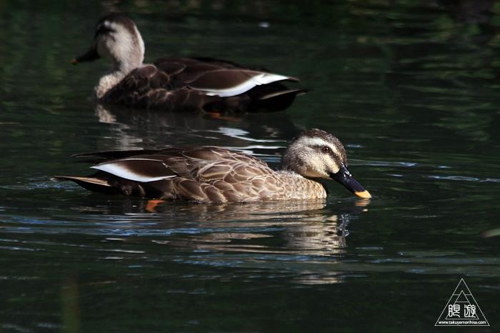 537 出雲大社 ~出雲大社の池にいる鳥~_c0211532_01330379.jpg