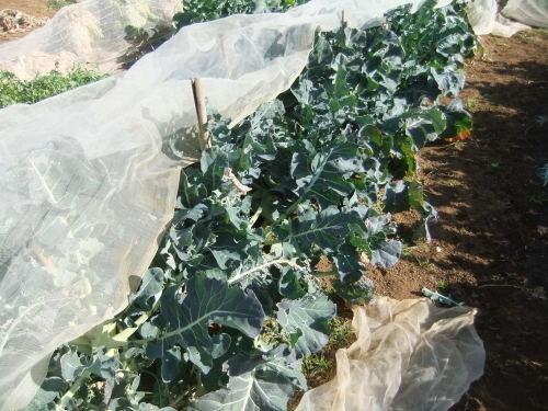 白菜の収穫。。。_b0137932_14062627.jpg