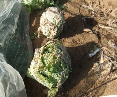 白菜の収穫。。。_b0137932_14080817.jpg