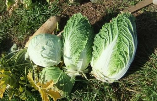 白菜の収穫。。。_b0137932_14094303.jpg