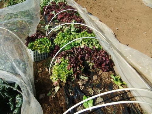 白菜の収穫。。。_b0137932_14101655.jpg