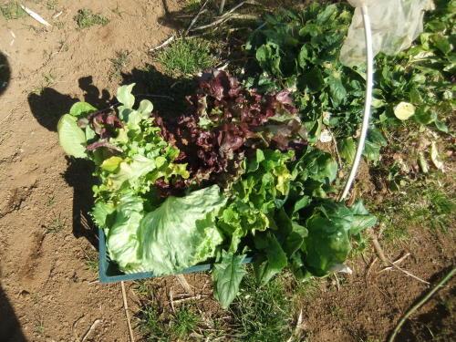 白菜の収穫。。。_b0137932_14110740.jpg