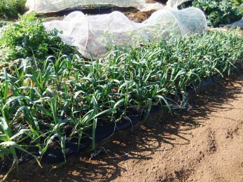 越冬野菜の成長_b0137932_16490522.jpg