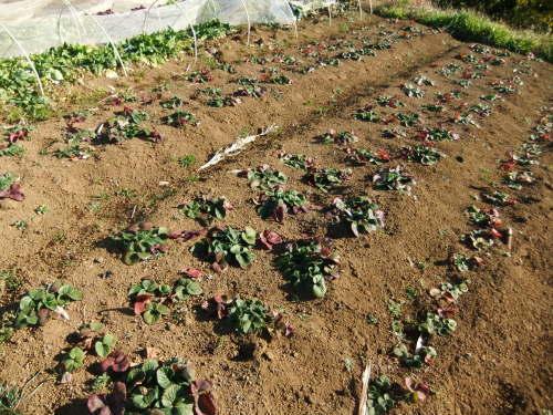 越冬野菜の成長_b0137932_16504663.jpg