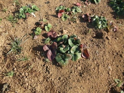越冬野菜の成長_b0137932_16514731.jpg