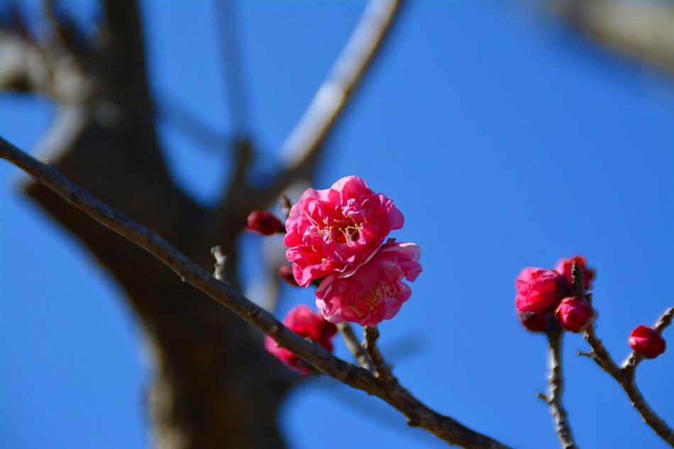 梅と水仙のデジブックを公開しました。_c0265095_21272543.jpg