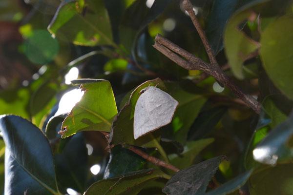 川越市のムラサキシジミ・ムラサキツバメ(2017年1月中旬)_c0049095_0393840.jpg