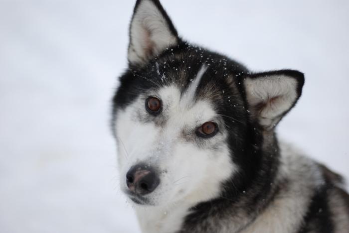 《犬ぞり》極北人と犬_d0112928_10352310.jpg
