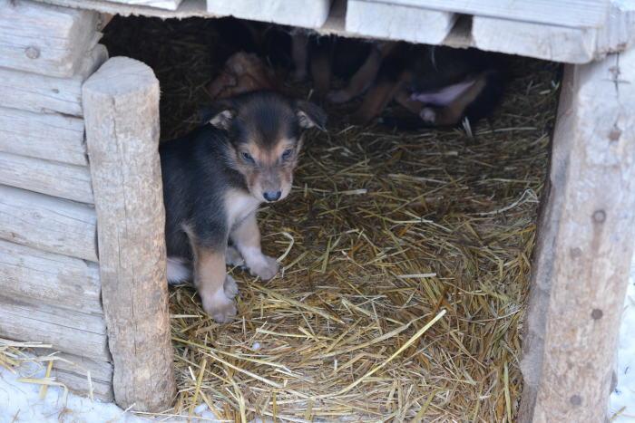 《犬ぞり》極北人と犬_d0112928_10554785.jpg