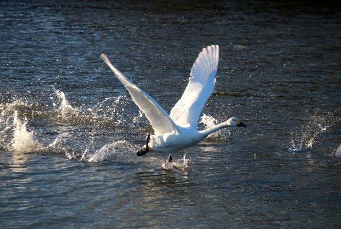 白鳥撮影会。_f0348831_00113666.jpg