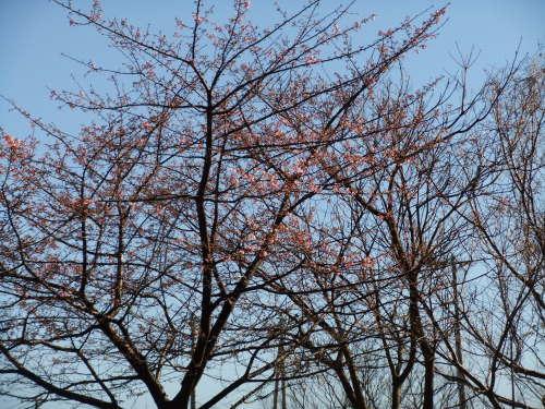 桜の花も咲いて..もうすぐ春です。_b0137932_16133439.jpg