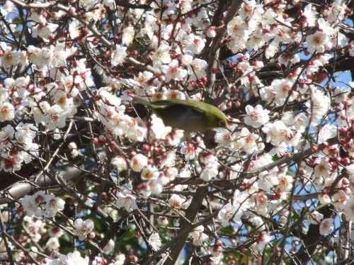 桜の花も咲いて..もうすぐ春です。_b0137932_16163473.jpg
