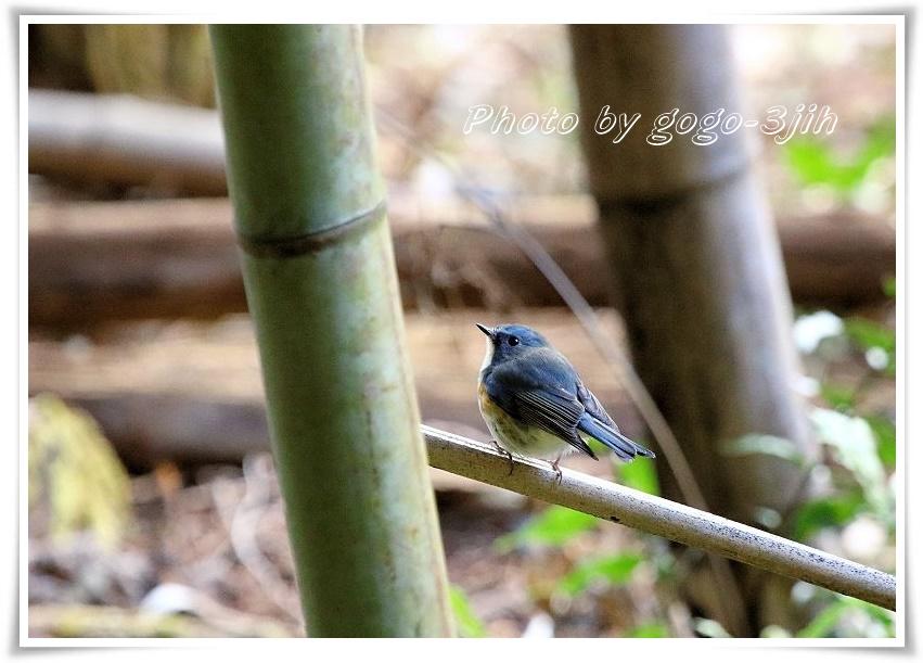 ルリビタキの雄の一歳鳥は雌に似た色で雌のふりをして、雄の成鳥からの攻撃を避ける_b0346933_1634297.jpg