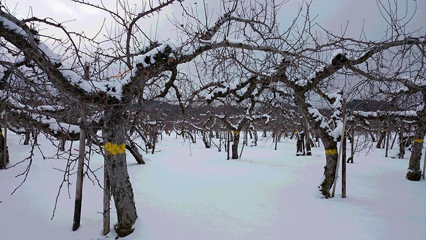 病院の検査の疲れを癒してくれた果樹園からのリンゴ_a0031363_017789.jpg
