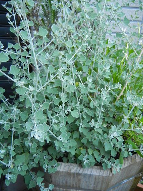 【庭ブログ】気になる植物1_a0078694_11114780.jpg