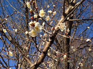 梅の花_d0155416_16162353.jpg