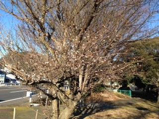 梅の花_d0155416_1616746.jpg