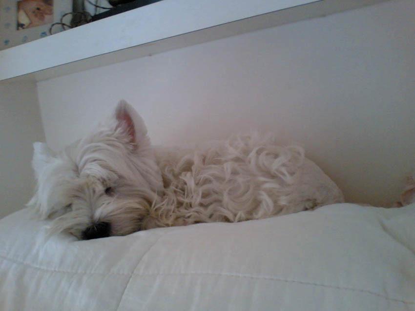 飼い主の枕はアミィの枕。_b0107163_00413325.jpg