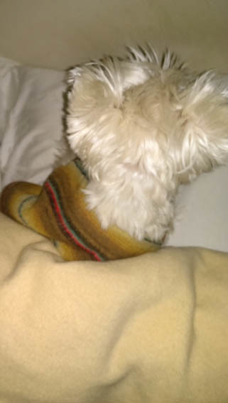 飼い主の枕はアミィの枕。_b0107163_00414389.jpg
