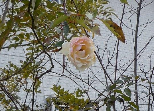 路傍の花、樹々の鳥(142) ~ ここにも冬薔薇が ~_b0102572_144527100.jpg