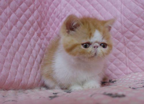 エキゾ赤ちゃん 11/30 チビチビタ 赤ちゃん 女の子 Bちゃん(キャリコ)_e0033609_22214206.jpg
