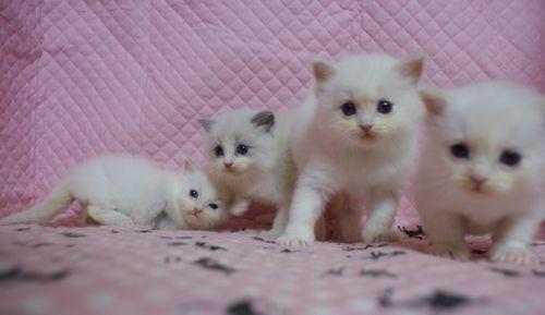 ラグドール子猫家族募集 ブルーポイントバイカラー坊や クリームポイントバイカラーx3 坊や 12月27日生まれ_e0033609_22294864.jpg
