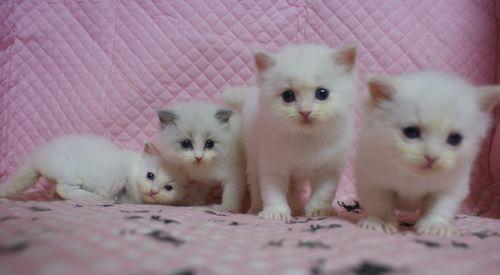 ラグドール子猫家族募集 ブルーポイントバイカラー坊や クリームポイントバイカラーx3 坊や 12月27日生まれ_e0033609_22300578.jpg
