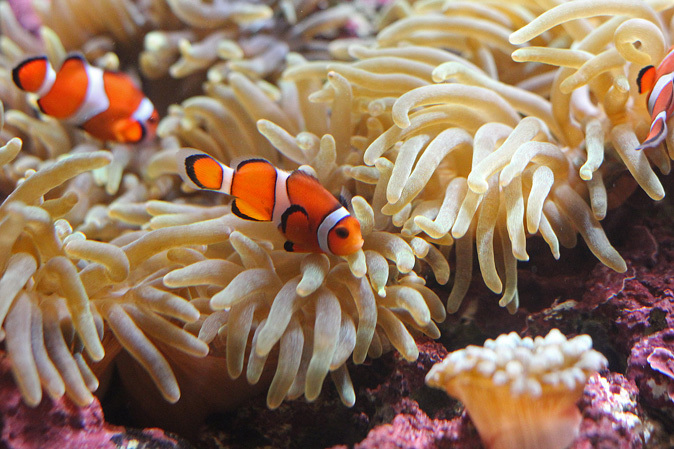 しながわ水族館:カクレクマノミとサンゴイソギンチャク_b0355317_20081687.jpg
